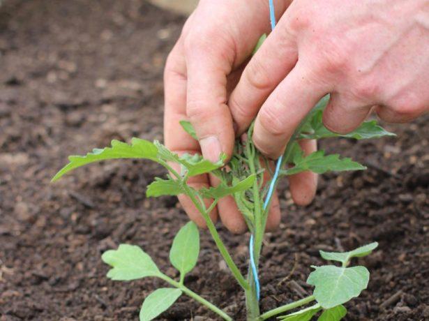 Ранний урожайный томат дубок, он же дубрава