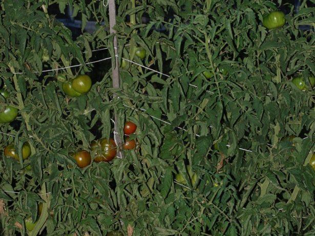 Сорт гордість сибіру-гігантські томати у вашому городі
