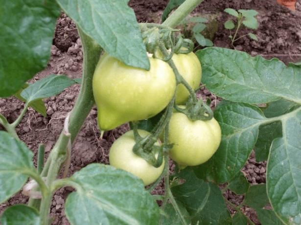 Клюква в сахаре: популярный сорт мелкоплодных томатов