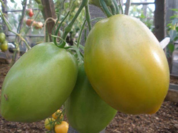 Томат південний загар-помаранчевий плід надзвичайного смаку