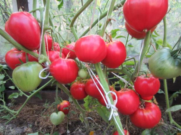Данко-томат з палаючим серцем