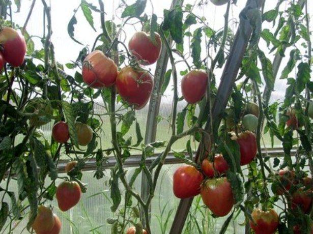 Сибірський томат орлине серце