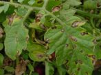 Крайня північ-томат для регіонів ризикованого землеробства
