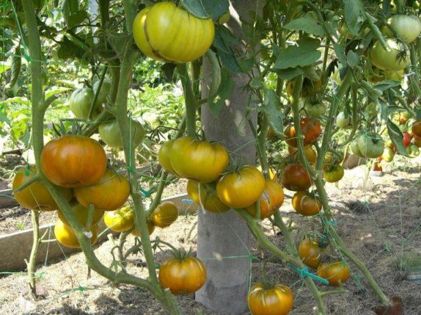 Великоплідний томат цукровий бізон