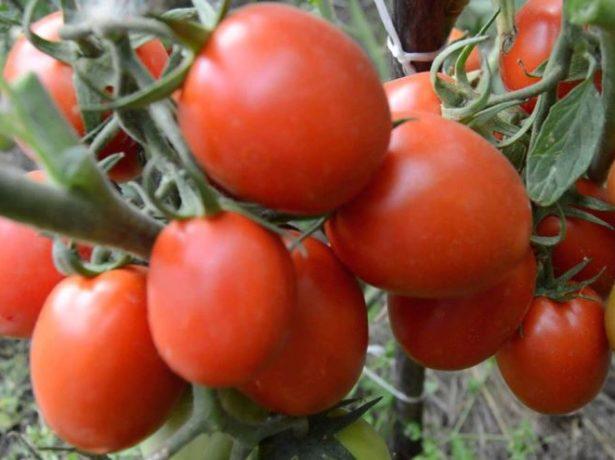 Кумато-томат-напівдикар, який отримав світову популярність