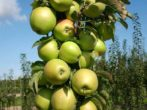 Колонновидная яблуня в підмосковї: кращі сорти з описами і фото