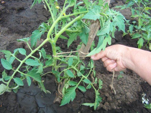 Чорний крим-урожайний темношкірий томат, який здійснив навколосвітку