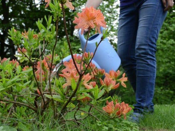 Осінній догляд за рододендроном і підготовка його до зими
