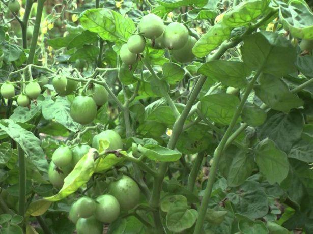 Лабрадор-низькорослий томат з небувалою врожайністю