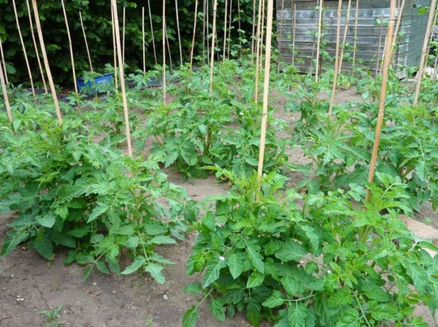 Як підвязати помідори у відкритому грунті: основні способи і правила