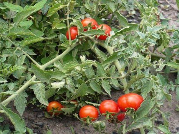Пролісок-холодостійкий томат для північних регіонів