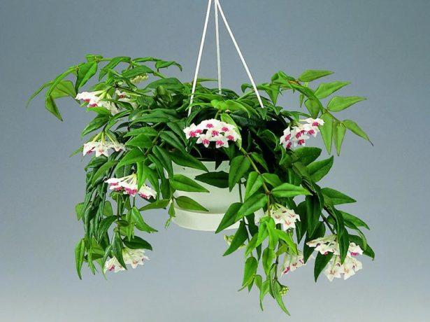 Хойя, або восковий плющ: чи можна тримати квітку вдома