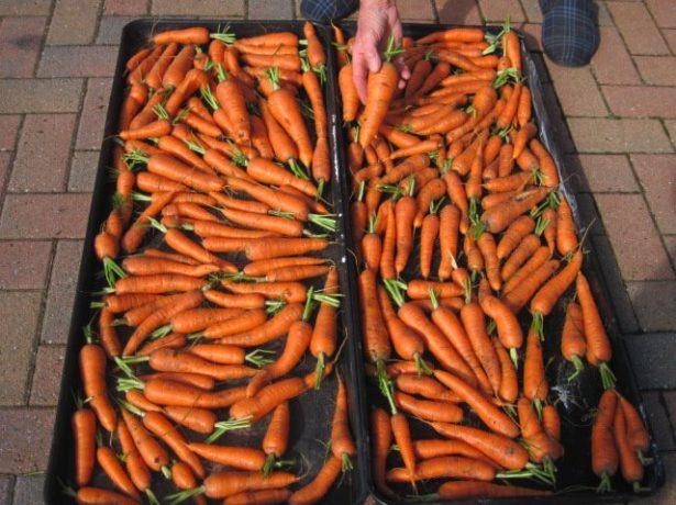 Як зберегти моркву в погребі до наступного врожаю