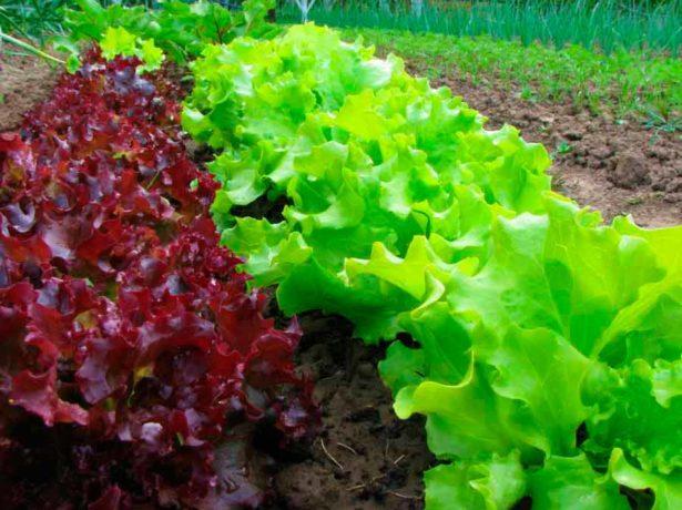 Врожайна грядка: після чого садити моркву на наступний рік