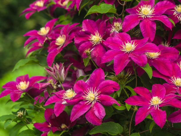 Вкриваємо клематис на зиму, щоб зберегти квітку до весни