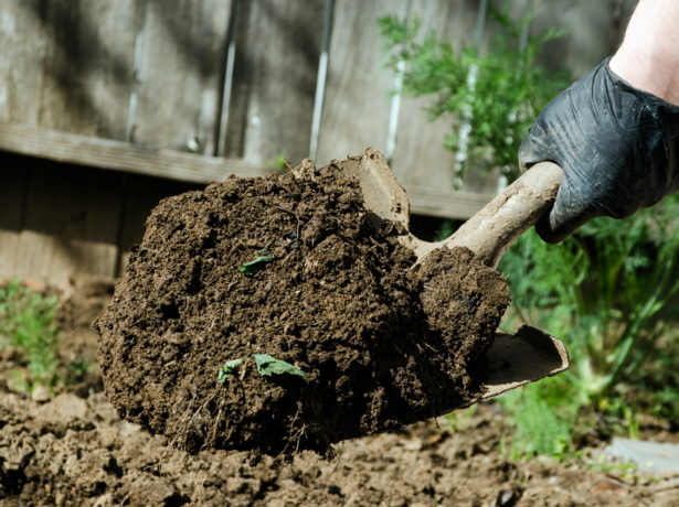 Сіємо петрушку під зиму і отримуємо ранній урожай зелені