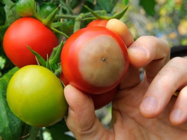 Проникає всередину помідора, в результаті чого він розмякшується і стає непридатним для їжі. При цьому зовні він може здаватися практично неушкодженим. Страждають від фомозу і зелені частини рослини. На пагонах і листках утворюються плями, колір яких варіюється від темно-коричневого до чорного. Іноді вони можуть утворювати концентричні кільця.
