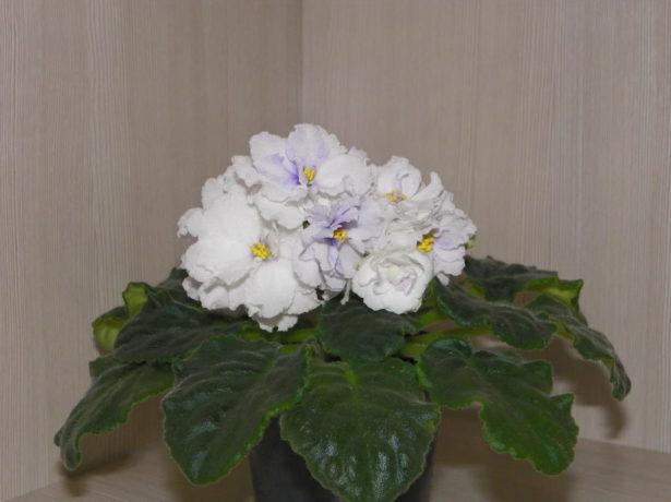 Фіалка в будинку: ніжне досконалість або фатальний квітка?