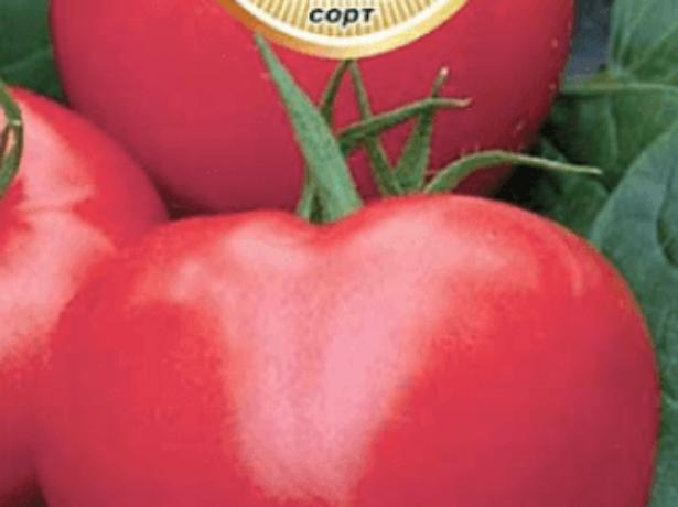 Карликовый томат сорта гном  — любимец многих дачников
