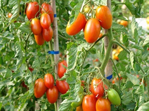 Подснежник— холодостойкий томат для северных регионов