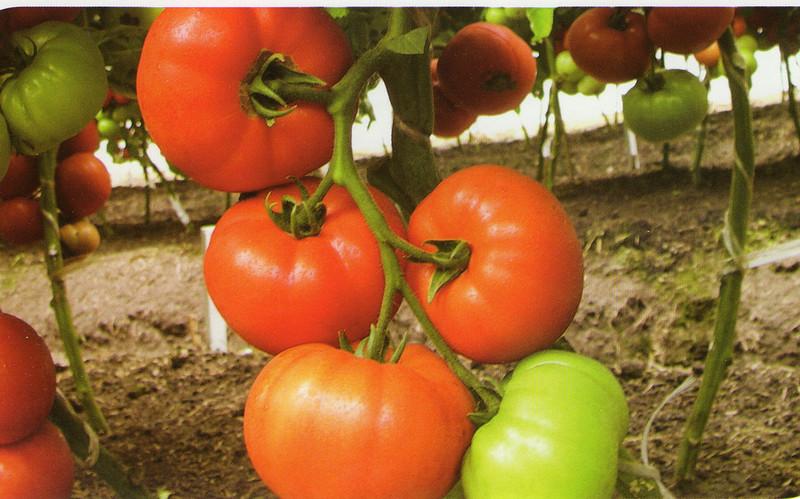 Рынка и пристрастий поставщиков, часто от понравившихся сортов получают собственные семена. Однако некоторые огородники сетуют, что при посеве своего посадочного материала от томатов кёнигсберг не удаётся воспроизвести урожай первого года, когда использовались семена от производителя. Не стоит забывать, что при получении собственных семян нужно: не обрабатывать никакими стимуляторами роста кусты с плодами-донорами семенного материала. заранее отобрать самый здоровый крепкий куст. выбрать средний помидор из второй кисти при тепличном выращивании или из нижней кисти в открытом грунте. Размер и форма плода должны соответствовать стандарту сорта. Даже при соблюдении всех этих условий не всегда есть уверенность, что внешние обстоятельства (насекомые-опылители, соседние сорта, ветер) не превратили ваш любимый сорт в спонтанный гибрид. Семена получают таким образом: собирают плоды бурыми и доводят в тепле. промывают томаты, разрезают поперёк и выдавливают семена с соком в отдельную тару, накрывают чистой марлей и оставляют в тёмном тёплом месте для сбраживания. Это делается для того, чтобы избавиться от ингибиторов, подавляющих всхожесть семян.