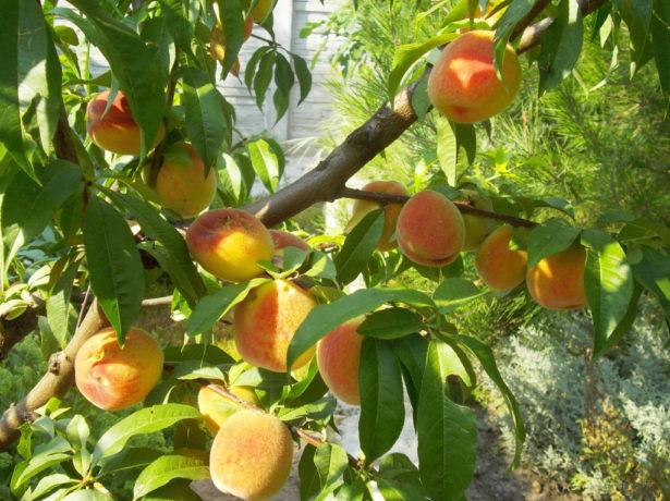 Сорти персика для підмосковя
