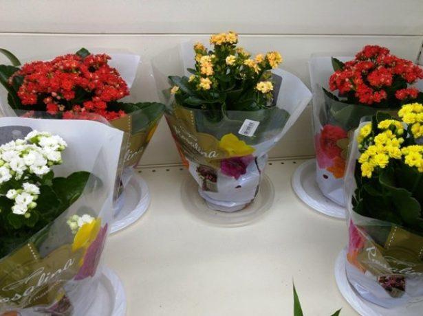 І взимку у каланхое буває літо: особливості догляду за квіткою
