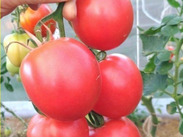 Добірка кращих сортів томатів для вирощування в кіровській області
