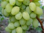 Виноград арлекін-молодий перспективний сорт
