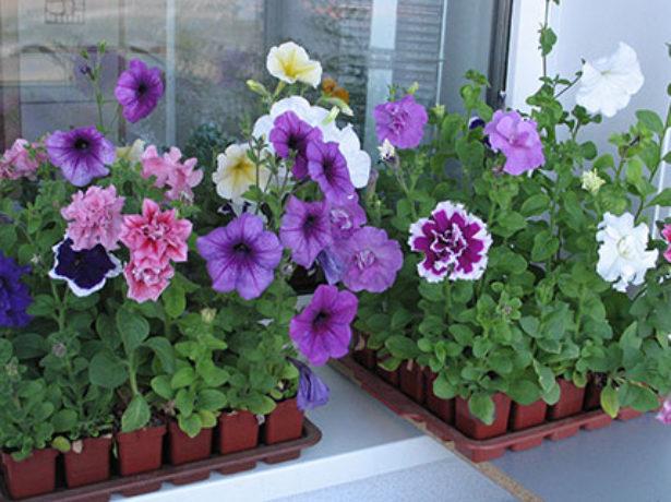 Які квіти посадити на розсаду в лютому: добірка популярних варіантів