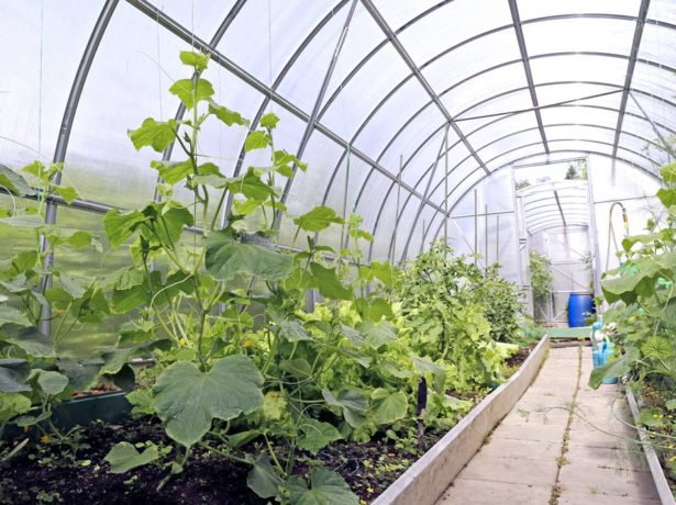 Цвітна капуста альфа-опис раннього, врожайного і смачного сорту