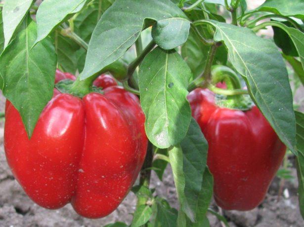 Чи легко виростити солодкий перець без теплиці