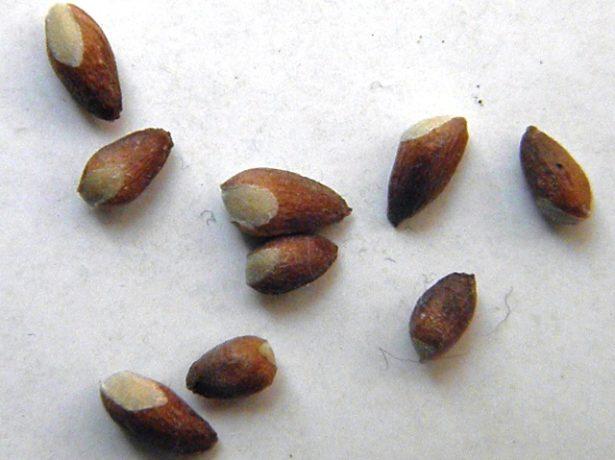 Вчимося вирощувати ялівець з насіння