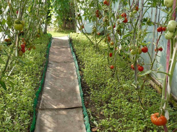 Полуниця феєрверк-один з кращих середньостиглих сортів