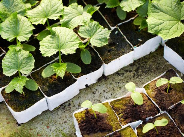 Огірок справжній полковник f1: висока врожайність і універсальне використання