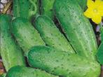 Кращі сорти огірків на 2019 рік: вибираємо найсмачніші і врожайні