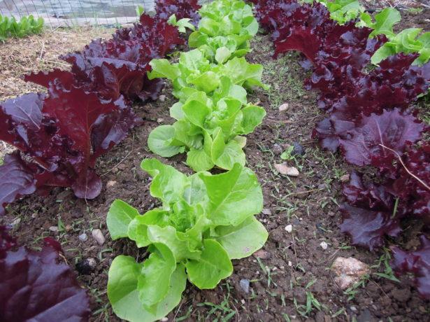 Спільні посадки овочів на грядці: загальні принципи і перевірені практикою приклади