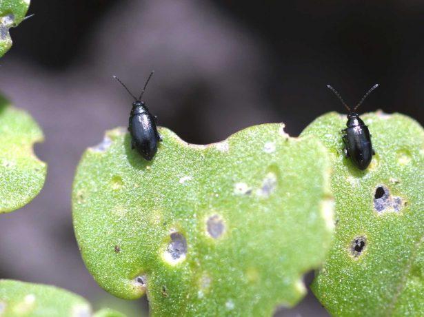 Здоровя редису: як убезпечити перший весняний урожай від хвороб і шкідників