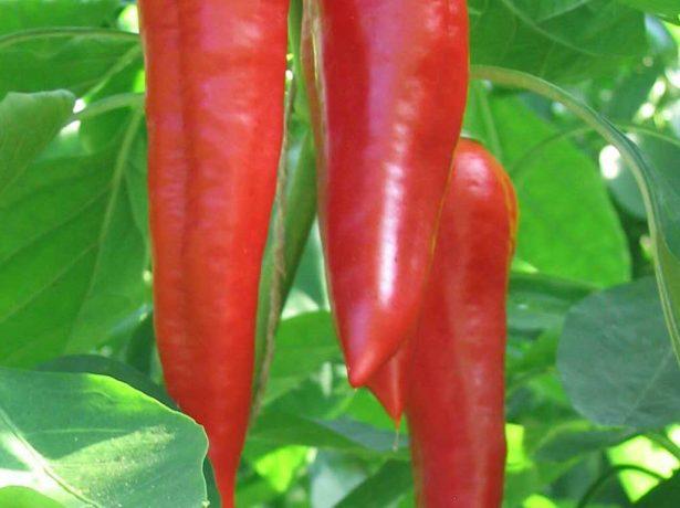 Від російського дзвіночка до мексиканця-халапеньо: розбираємося в сортах гострого перцю