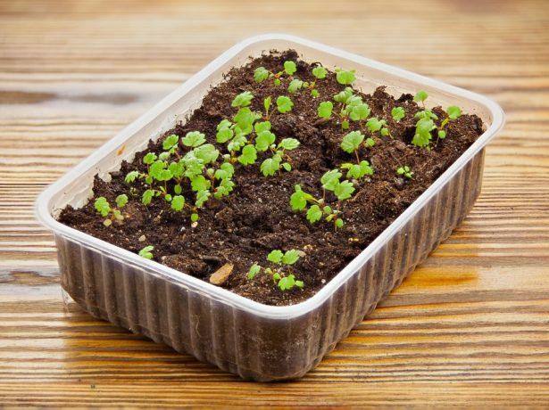 Суниця руяна: один з кращих альпійських сортів