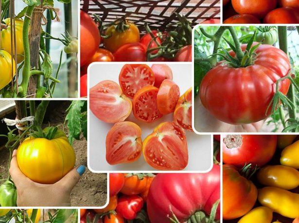Коли садити помідори на розсаду в 2019 році: визначаємося з термінами