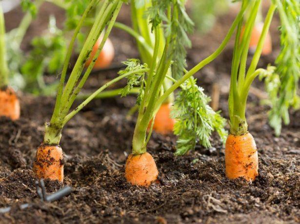 Чем подкормить укроп дома и в открытом грунте