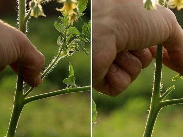 Що посадити після картоплі на наступний рік: вивчаємо сівозміну