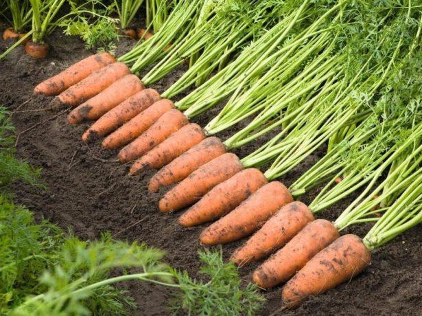 Розповідь про сибірської морквині: добірка кращих сортів з описом