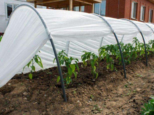 Клубника элиане —ягода для вдумчивых садоводов