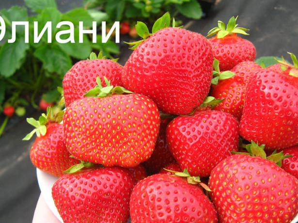 Полуниця еліане-ягода для вдумливих садівників
