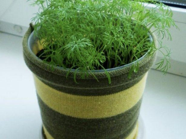 Чим підгодувати кріп будинку і у відкритому грунті