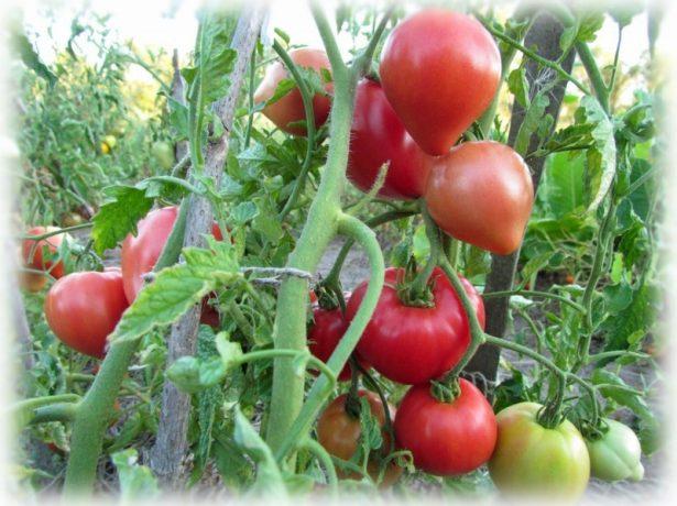 А профілактику фітофтори краще проводити регулярно-тоді урожай буде в безпеці.