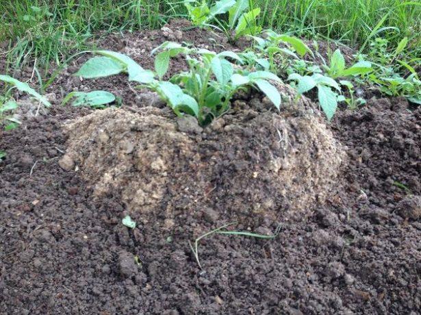 Вирощування картоплі по-китайськи