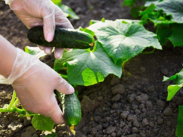 Огірки сатина f1: популярний у всьому світі голландський гібрид